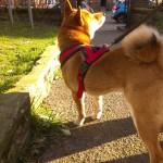 ロンドン中心部で2日連続柴犬に遭遇
