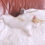 じゅうたんがりがりしまくってもやっぱり可愛い子猫