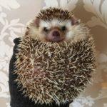 ハリネズミのハリーさんの病気:回復、そして悲しいお知らせ